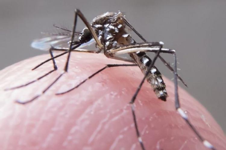 AEDES AEGYPTI é o transmissor de dengue, zika e chikungunya