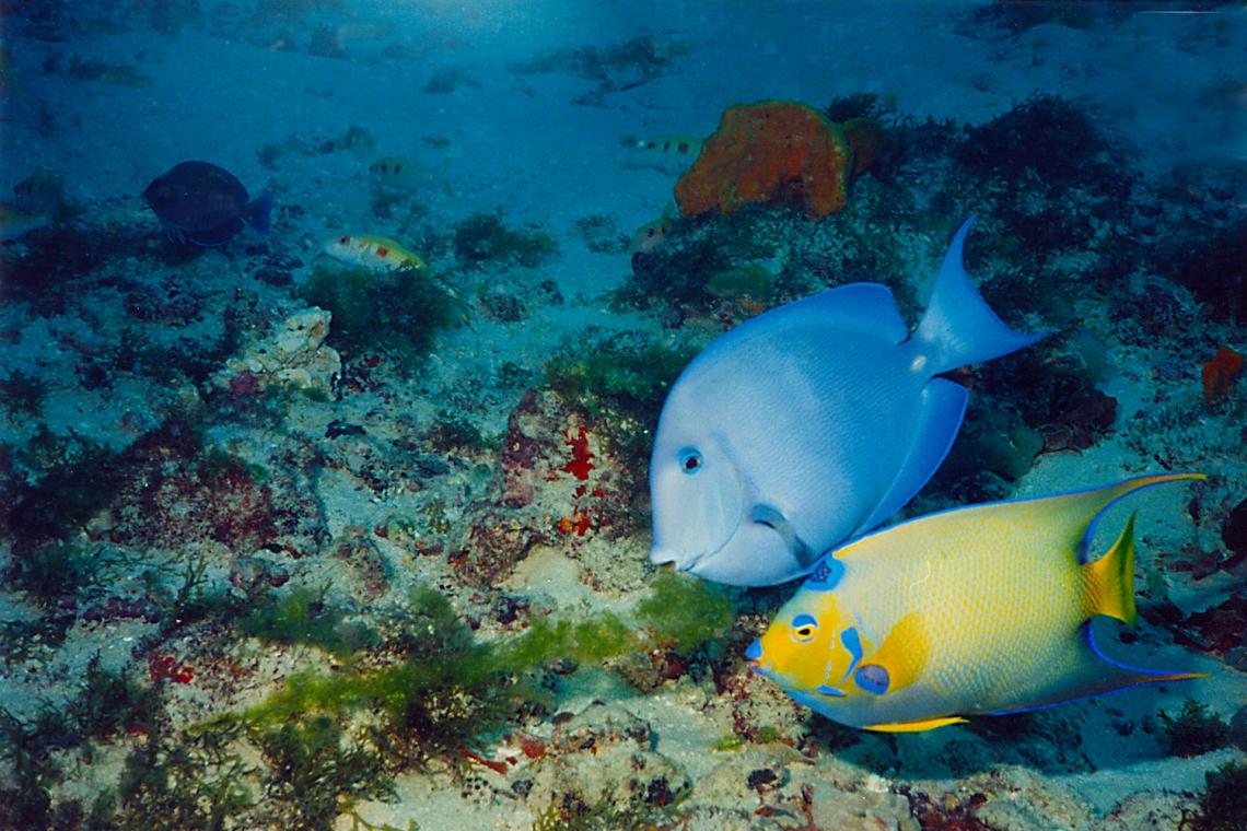 Duas espécies comuns no Parque da Pedra da Risca do Meio são Lanceta-azul ou Peixe cirurgião azul (Acanthurus coeruleus) e, ao lado, o Paru-jandaia ou Ciliaris (Holacanthus ciliares). (Foto: Eduardo Freitas/Divulgação)