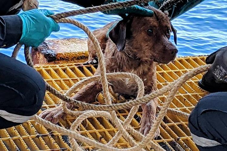 O cachorro foi encontrado sozinho nadando no golfo da Tailândia, a mais de 220 Km da costa