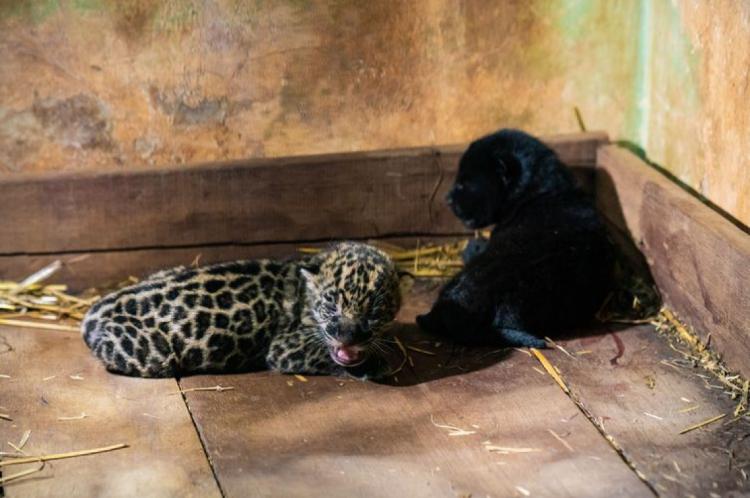 Recinto das Onças - Refúgio Biológico Bela Vista,Panthera onca; RBV; conservacao; especie ameaçada de extinção; fauna; filhote; onca; preservacao; reproducao