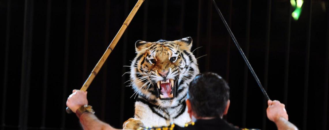 Treinador de tigre do circo italiano Maximus se apresentando em Budapeste  (Foto: Attila Kisbenedek/APF)