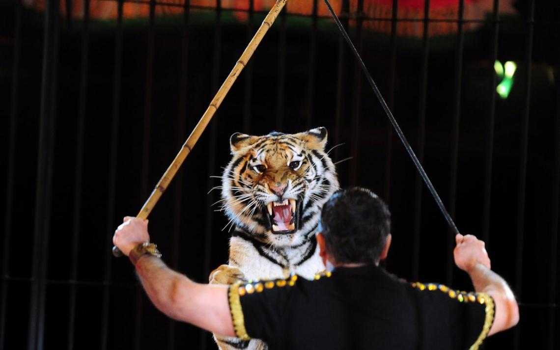 Treinador de tigre do circo italiano Maximus se apresentando em Budapeste