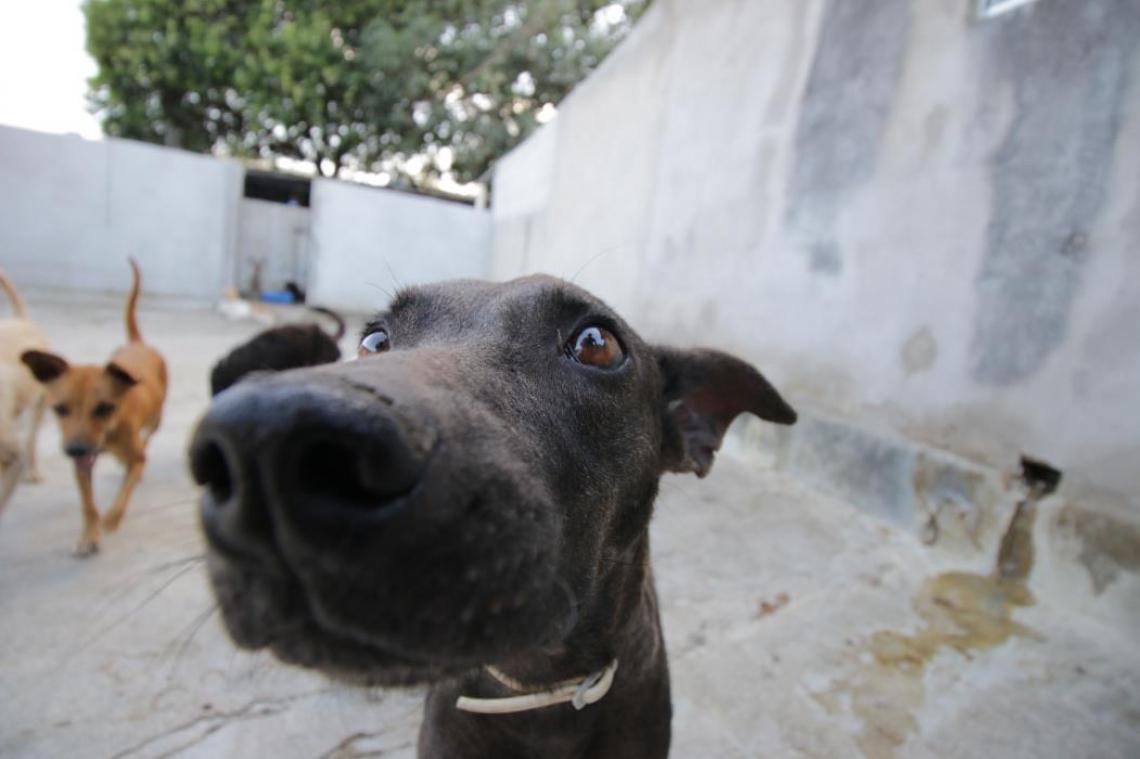Mas o status de sujeito de direito não é reconhecido pela Constituição Brasileira. Nela, animais são uma propriedade.