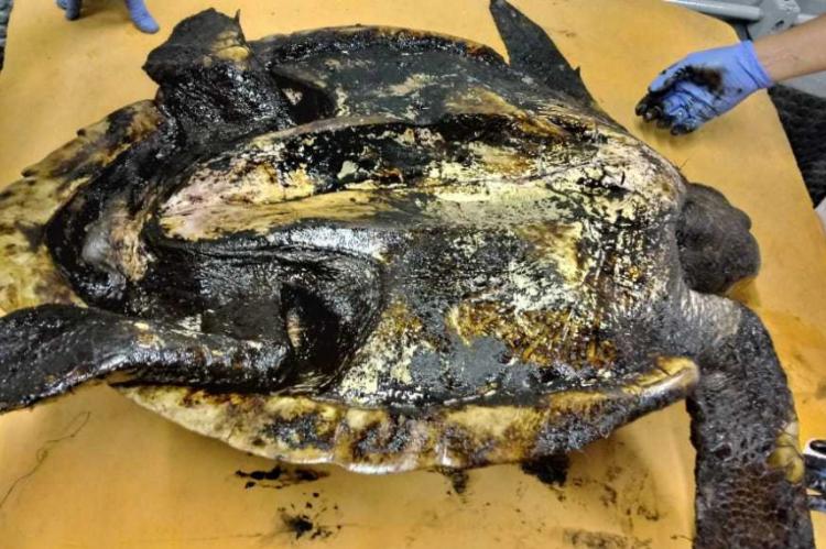 Tartaruga encontrada coberta de petróleo cru ou piche derramado nas praias de Fortaleza. Tartarugas-Oliva reabilitadas pela Aquasis em Iparana, Caucaia