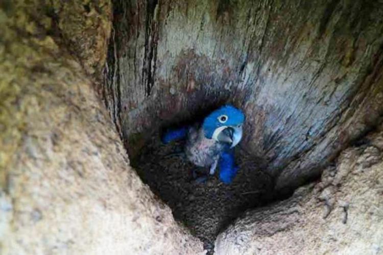 Ainda durante a pesquisa, 10 ninhos com ovos foram localizados em uma área de 807 quilômetros na região. (Foto: Reprodução/ANMI)