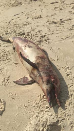 O corpo do golfinho foi encontrado na manhã deste sábado, 5.