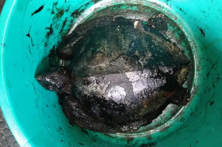 Tartaruga coberta por óleo tratada por biólogos da ONG Aquasis no fim de setembro