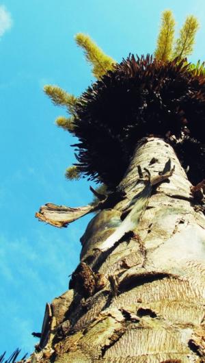 Palmeira da espécie Coryphaumbraculefera, na sede do Banco do Nordeste do Brasil (BNB), no bairro Passaré. (Foto: Carminha Campos/Especial para O POVO)