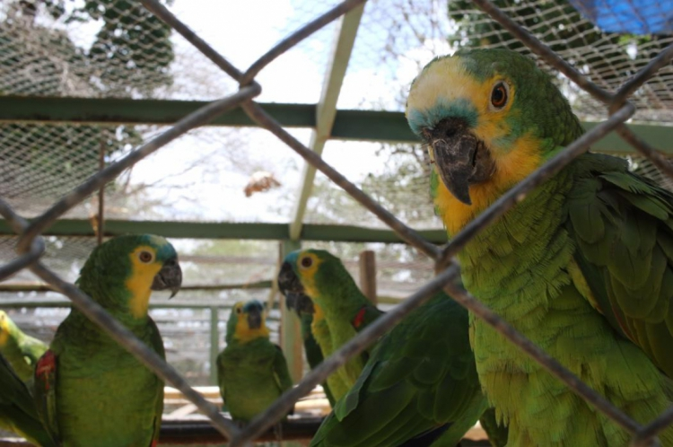 O presidente do Ibama também proibiu os fiscais do órgão de aprender e encaminhar psitacídeos para os Centros de Triagem de Animais Silvestres caso não se comprovem a posse por menos de oito anos e/ou maus-tratos.