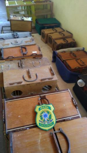 Cerca de 140 canários-da-terra foram apreendidos em operação do Ibama no Conjunto-Ceará.