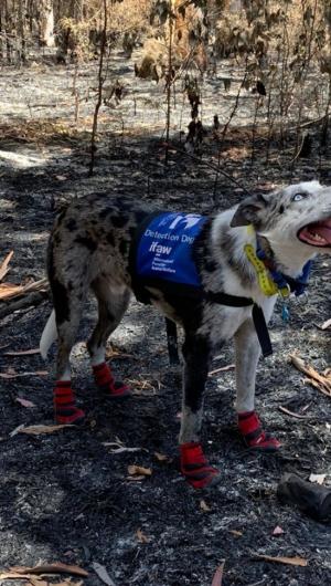 Após os incêndios florestais envolvendo o país, Bear foi escolhido para colaborar com as buscas de coalas nos territórios devastados