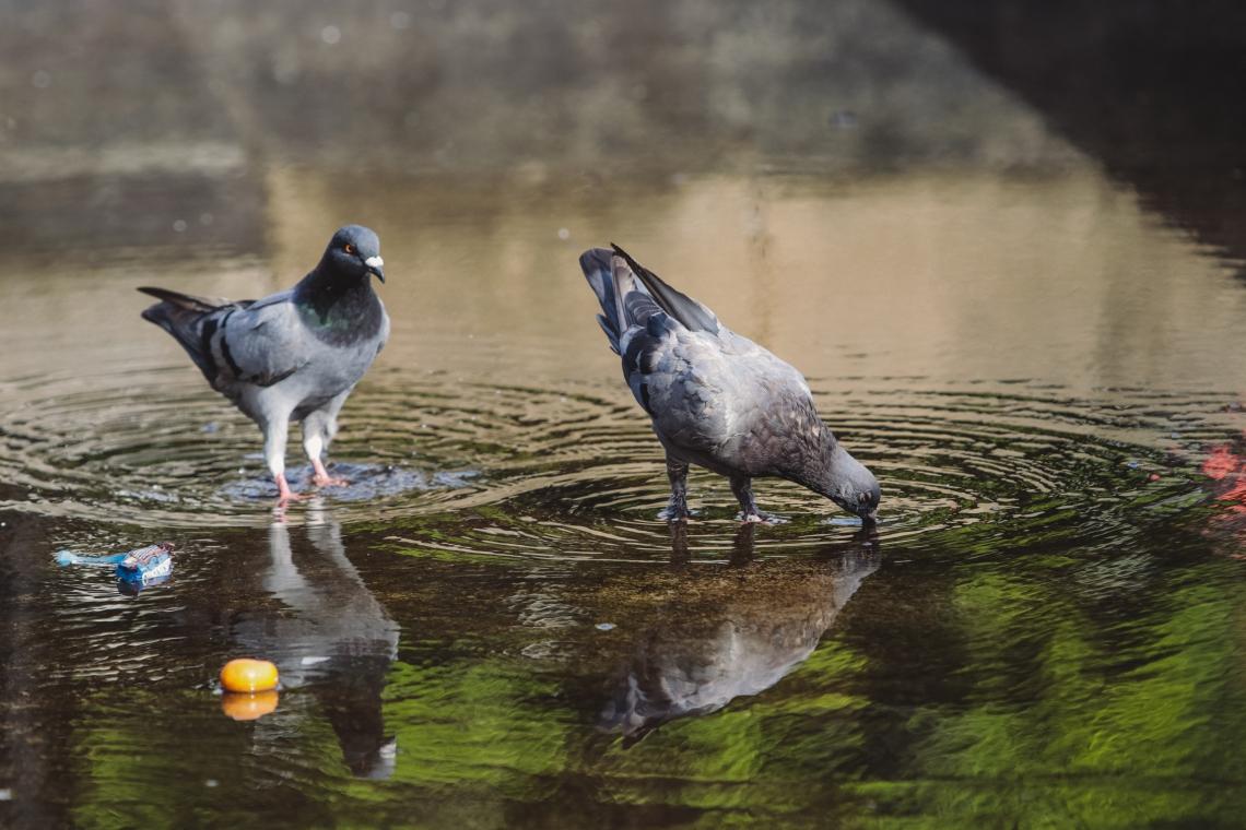 E de onde vieram esses pombos afinal? Do Mediterrâneo, mar que banha a Europa, o Oriente Médio e o norte da África