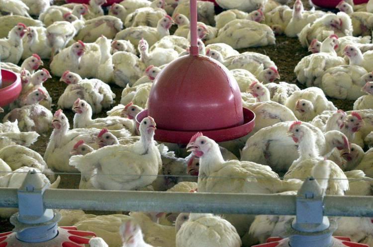 Aproximadamente 18 mil aves foram sacrificadas