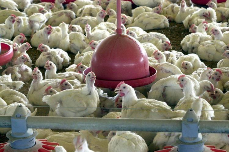 Em fevereiro de 2019, Pequim passou a aplicar por cinco anos tarifas antidumping ao frango brasileiro, que vão de 17,8% a 32,4% (Foto: AGÊNCIA BRASIL/EBC)