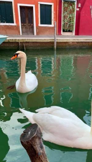 Animais voltaram a circular nos canais de Veneza, na Itália (Foto: Twitter)