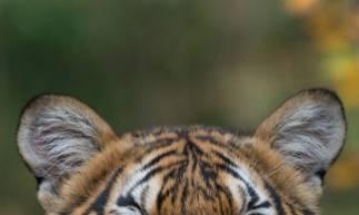 Esta foto do folheto divulgada pelo zoológico do Bronx da Wildlife Conservation Society em 5 de abril de 2020 mostra o tigre malaio Nadia que deu positivo para o Covid-19. - Um tigre do zoológico do Bronx, em Nova York, deu positivo para o COVID-19, informou a instituição no domingo, e acredita-se que tenha contraído o vírus de um zelador que era assintomático na época. (Foto de JULIE LARSEN MAHER / Wildlife Conservation Society / AFP) (Foto: JULIE LARSEN MAHER / Wildlife Co)