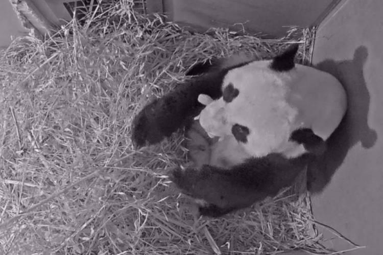 Foto divulgada neste sábado pelo zoológico de Ouwehands mostra uma panda segurando seu filhote na boca. Um dos pandas gigantes emprestados pela China à Holanda deu à luz no parque animal de Rhenen