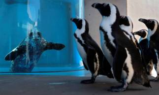 Cape penguins walk past a seal in an aquarium at Hakkeijima Sea Paradise, which is closed amid the COVID-19 coronavirus pandemic, in Yokohama on May 8, 2020 as part of a theme park's project to deliver the state of animals through official website and SNS. (Photo by Kazuhiro NOGI / AFP)