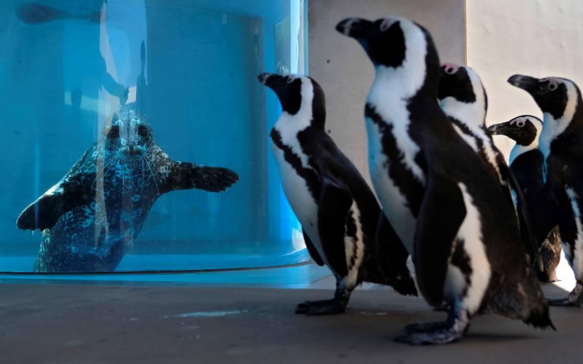 Pinguins africanos visitam foco durante passeio matinal