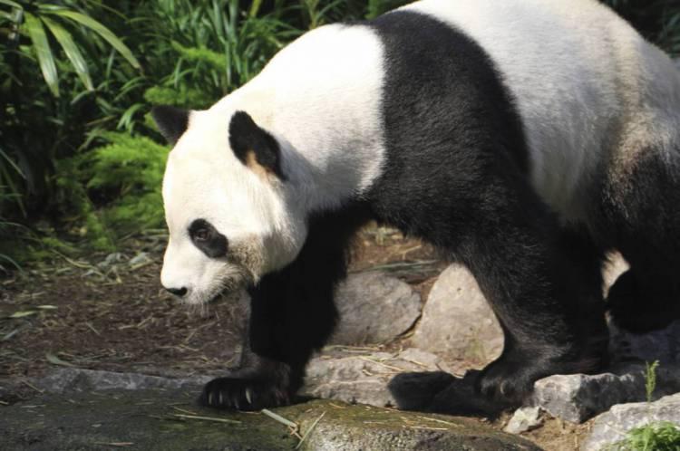 Er Shun se tornou mãe de dois filhotes gêmeos - os primeiros pandas nascidos em solo canadense.
