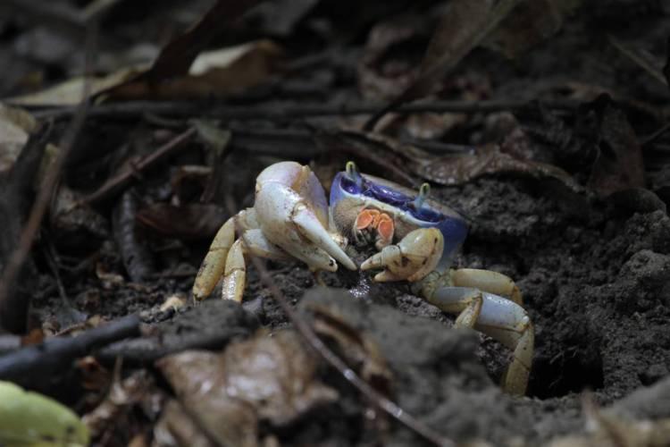 Fêmea guaiamum (Cardisoma guanhumi), espécie de caranguejo encontrada no mangue do Parque Estadual do Cocó, em Fortaleza. O caranguejo-azul está na lista dos animais em risco de extinção segundo relatório do Ministério do Meio Ambiente. Brasil-Ceará. 21/12/2011. (Foto: Demitri Túlio)   (Foto: DEMITRI TULIO)