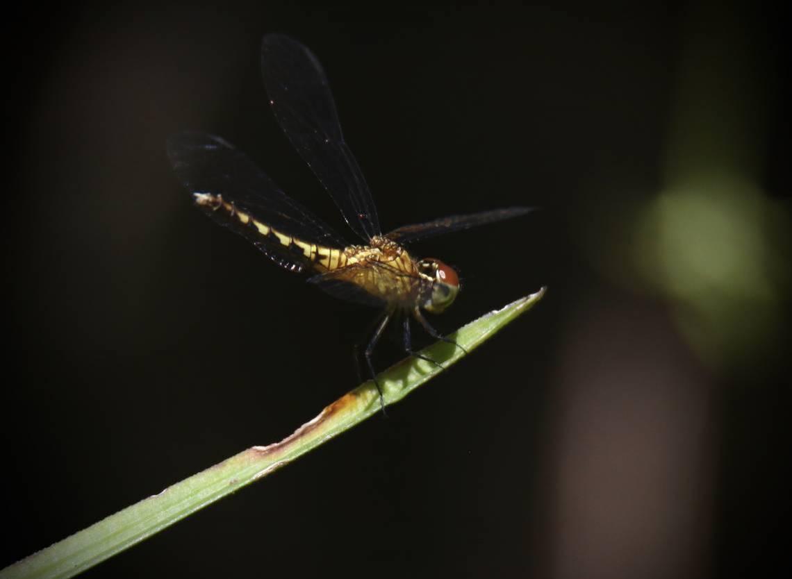 (Foto: Demitri Túlio)Especial Rio Cocó quarentena / Guardião da do Rio. Uma das espécies de libélula existente no Paque do Cocó em Fortaleza (Fortaleza-Ceará, 31/5/2020, Foto: Demitri Túlio)