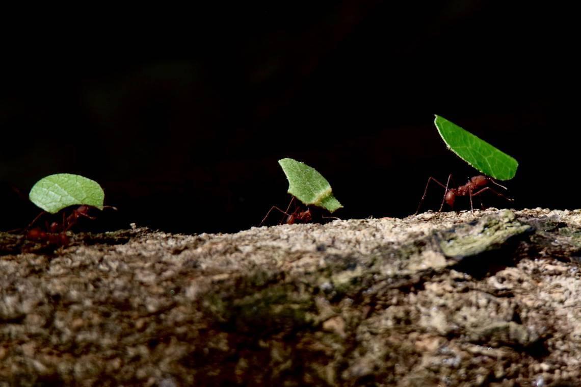 Especial Rio Cocó quarentena. No dia 31 de maio, já chegando junho, uma fila enorme de formigas cortadeiras levavam comida para abastecer o formigueiro. A chuva estava se prenunciado no Parque do Cocó. (Fortaleza-Ceará, 31/5/2020, Foto: Demitri Túlio)