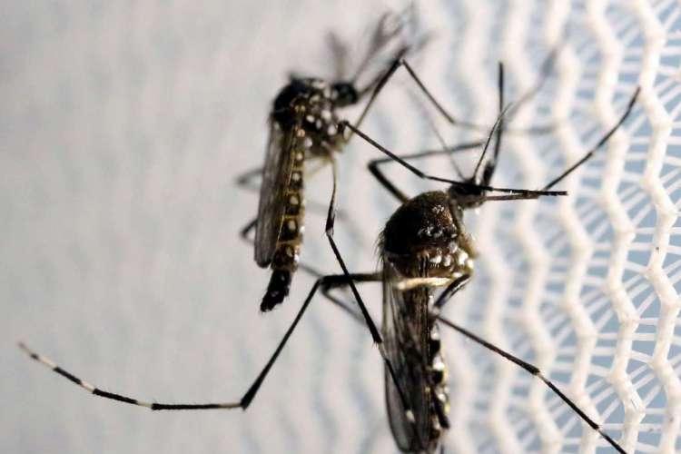 Mosquitos de Aedes aegypti são vistos no laboratório da Oxitec em Campinas (Foto: REUTERS/Paulo Whitaker)