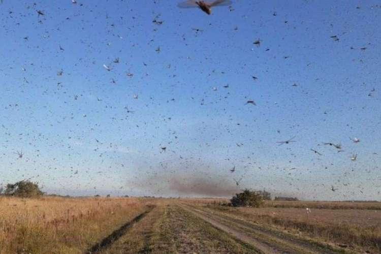 A nuvem de gafanhotos atinge plantações da Argentina e pode chegar ao Brasil (Foto: Reprodução/Senasa )