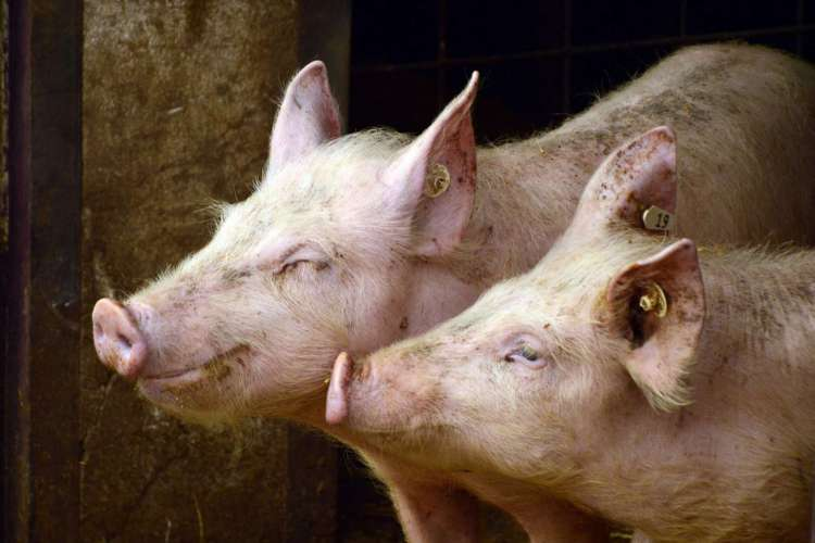 consumo de carnes é responsável por pandemias  (Foto: Peggy Choucair/ Pixabay)