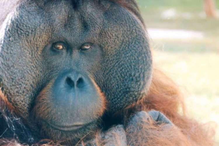 O orangotango português, de 37 anos, seria o animal que provavelmente mais tem sentido falta do velho normal (Foto: REPRODUÇÃO/ VÍDEO/ ZOOLÓGICO DE SÃO PAULO)