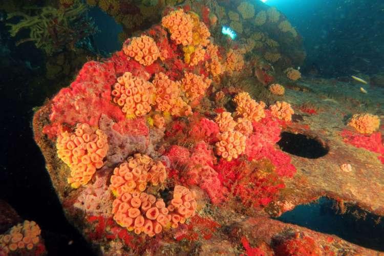 Coral-sol encontrado no navio Petroleiro do Acaraú, naufragado no Ceará em 1942, durante a Segunda Guerra Mundial (Foto: Marcus Davis/Mar do Ceará)