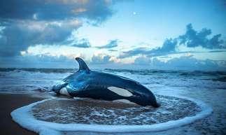 Filhote de orca encalha em praia na Bahia e precisa ser sacrificado por não ter chances de voltar ao mar