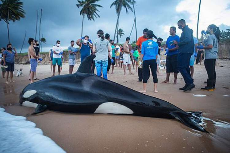 Filhote de Orca encalha na Bahia e sofre eutanásia por não ter chances de voltar ao mar 2