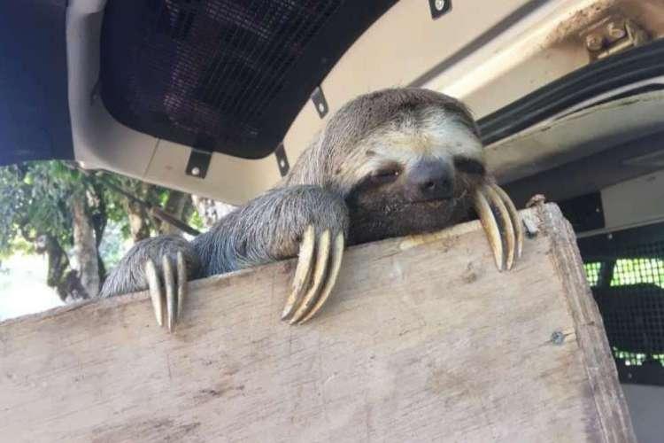 Animal de fauna silvestre foi entregue voluntariamente às autoridades. (Foto: Divulgação/SSPDS)