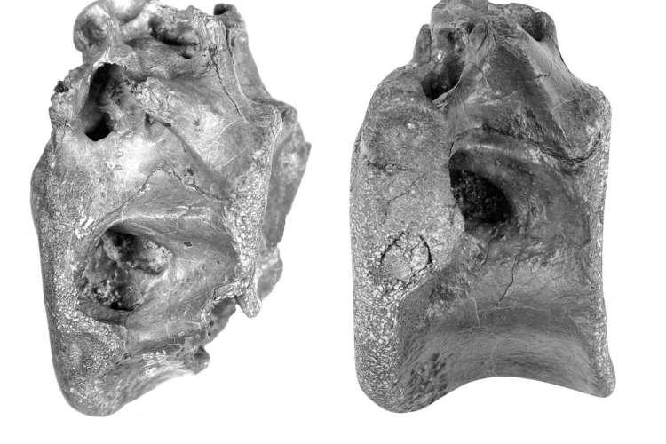 Imagem dos dois ossos (Foto:  University of Southampton)