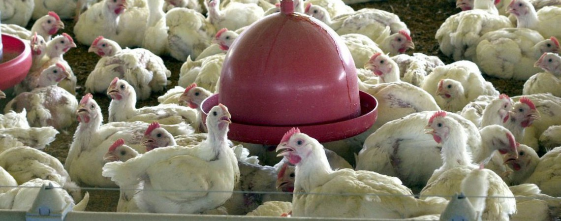 Hong Kong veta importação de frango de frigorífico brasileiro (Foto: )