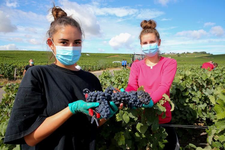 Vinhedo de Marc Augustin em Avenay-Val-d'Or, na France, em agosto de 2020. Funcionários fazem a colheita em meio à pandemia de coronavírus  (Foto: FRANCOIS NASCIMBENI / AFP)