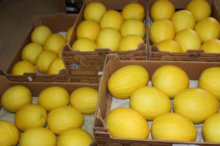 Produção de melões impulsiona exportações em Icapui. Em janeiro, houve alta de 169,9% (Foto: Reprodução Sedet)