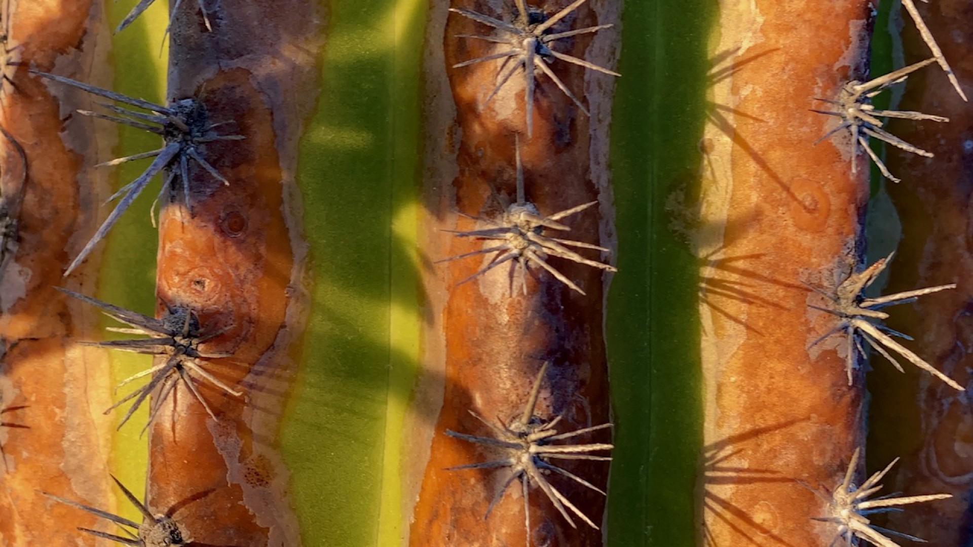 (Foto: Demitri Túlio)Planta do mandacaru, cactáceo abundante nas dunas florestadas do Parque Natural das Dunas da Sabiaguaba. 1/8/2020. Acervo: Demitri Túlio