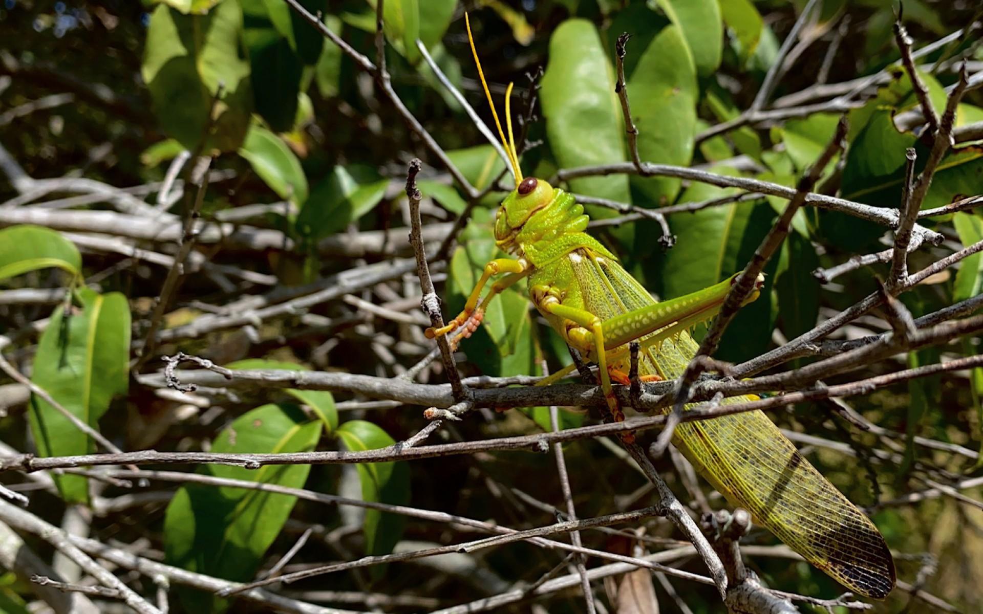 (Foto: Demitri Túlio)Gafanhoto, inseto presente na fauna do Parque Natural das Dunas da Sabiaguaba. O fruto é excelente para suco. 1/8/2020. Acervo: Demitri Túlio