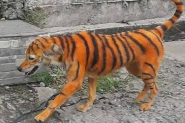 O cão passeou pelas ruas da cidade com a pintura de tigre e foi fotografado por populares.   (Foto: Persatuan Haiwan Malaysia)