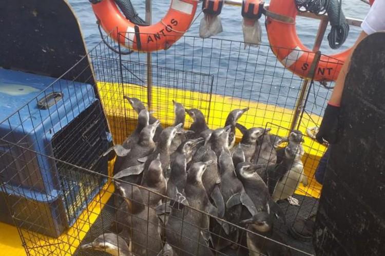 Projeto devolve à natureza 31 pinguins resgatados no litoral do país (Foto: )