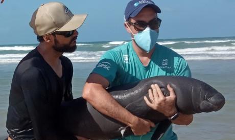 O peixe-boi resgatado é uma filhote de um ano de idade, fêmea, de 1,28 metro e 34 kg