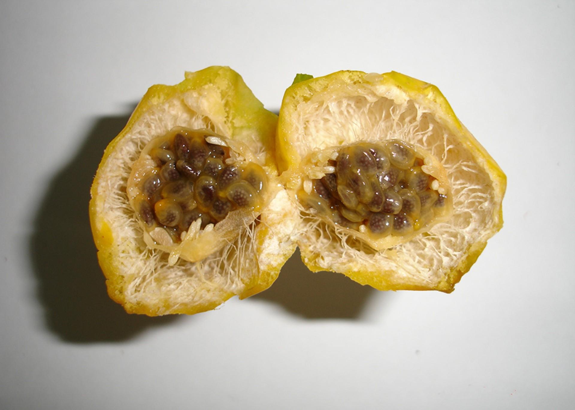 Os pesquisadores avaliaram a casca, a polpa e as sementes da espécie silvestre do maracujá.