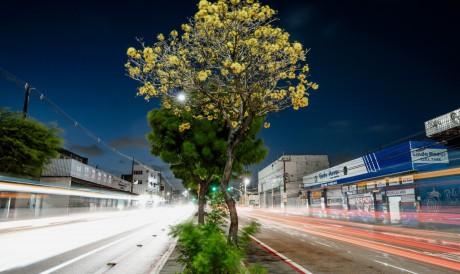Ipês da avenida Domingos Olímpio, em Fortaleza.  Ipês não são árvores de uma só época de floração, apesar de o florescimento também coincidir com o período da primavera