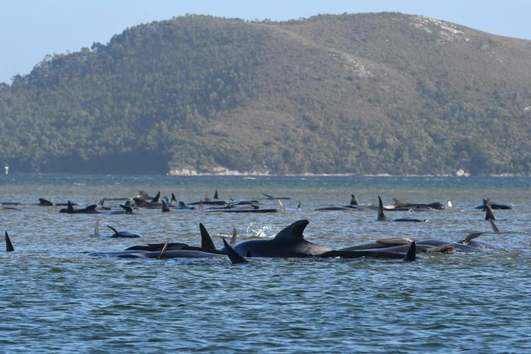 Um grupo de baleias encalhado em um banco de areia no porto de Macquarie, na costa oeste da Tasmânia em 21 de setembro de 2020 (Foto: AFP)
