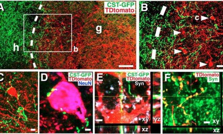 Na imagem, a cor verde marca as células implantadas pelos cientistas. Elas se relacionam com as células já existem, em vermelho