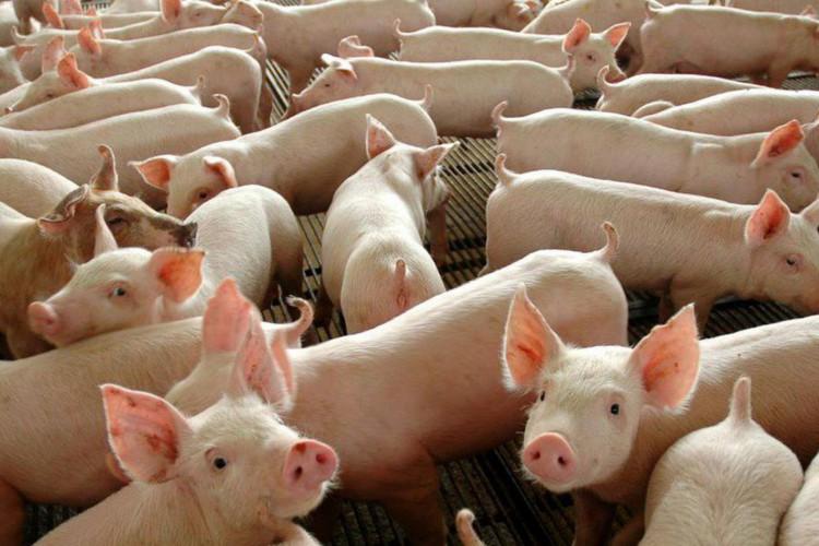 Segundo o ministério, o estado é localizado fora da zona reconhecida como livre de PSC pela Organização Mundial de Saúde Animal (OIE) (Foto: Divulgação/Governo Federal)