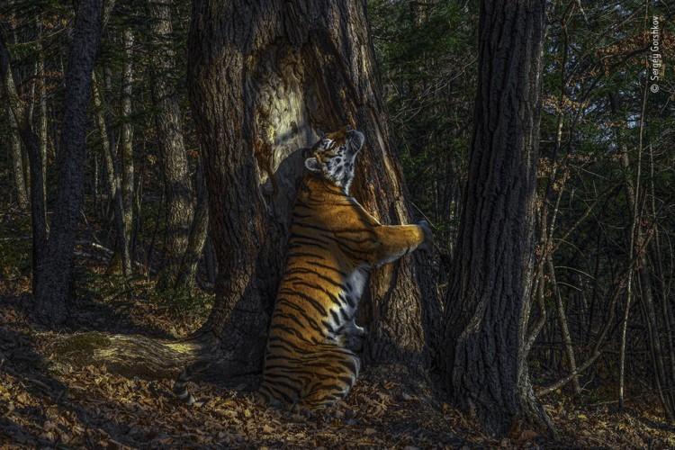 Imagem foi tirada por armadilha fotográfica posicionada na mata do Parque Nacional de Leopardos da Rússia.  (Foto: Sergey Gorshkov)